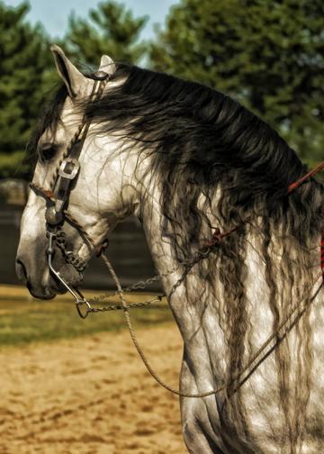 Andalusian Beauty  Horse Art  Chris Weigl  Matted 8 x 10 print