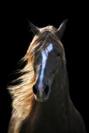 Paso Fino. Horse Art. Chris Weigl