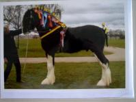 Shire Horse Card King