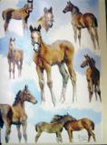Greeting Card Foal Studies.